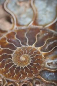 nautilus fibonacci